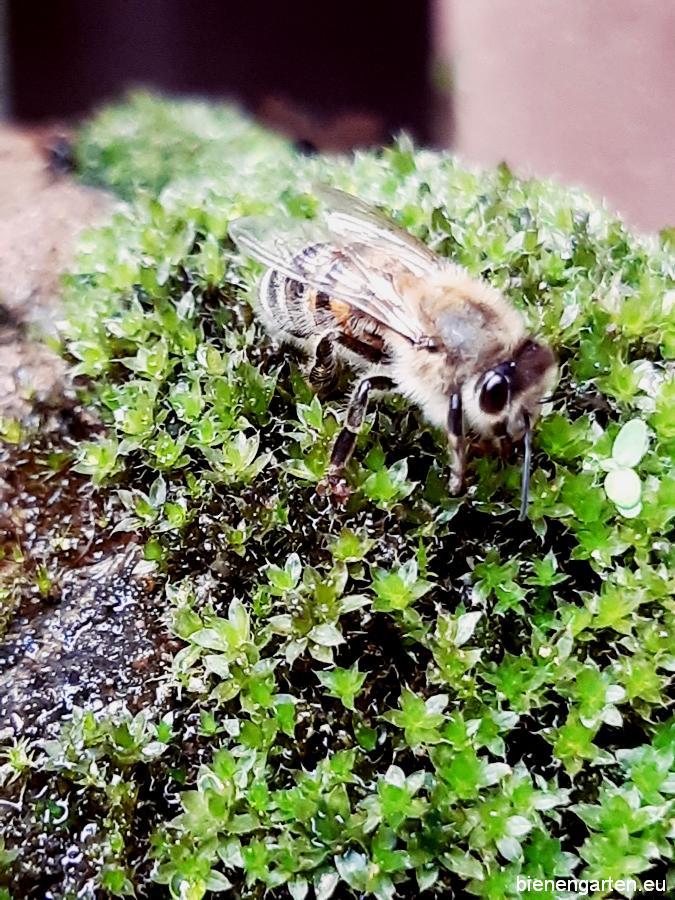 Das Bienchen erfrischt sich an einem feuchten mit Moos bewachsenen Stein.